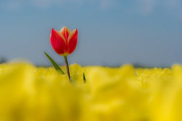 Rode tulp in geel tulpenveld 01 van Moetwil en van Dijk - Fotografie