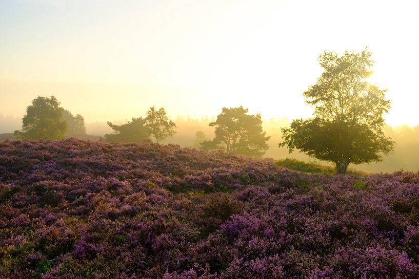 Bloeiende Heideplanten in Heidelandschap tijdens zonsopgang in de zomer op de Veluwe van Sjoerd van der Wal