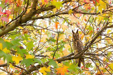 Langohr-Eule zwischen den Herbstblättern von Amberboom von Marianne Jonkman