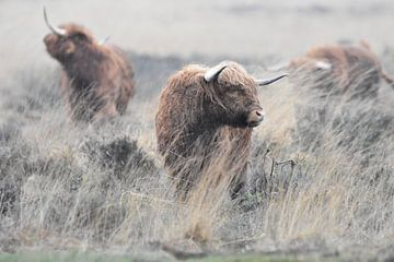 Schotse hooglanders van Silvia Nijholt