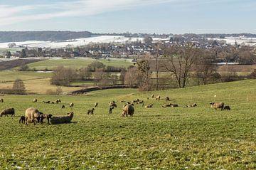 De eerste lammetjes in de wei in Zuid-Limburg van John Kreukniet