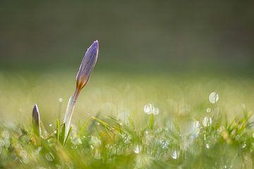 Krokus an einem schönen Frühlingsmorgen von John van de Gazelle