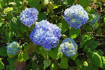 blaue Hortensien von Babetts Bildergalerie