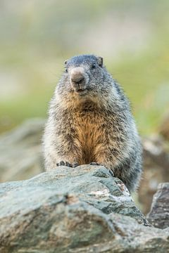 Marmot van Stijn Smits