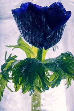 Buschwindröschen in Eis 2 von Marc Heiligenstein
