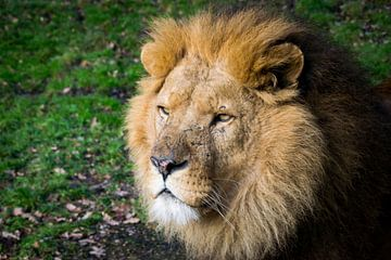 Leeuw van Abi Waren