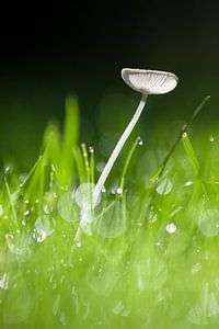 Paddenstoel in het gras van