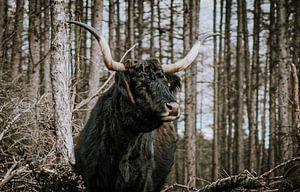Schotse Hoogland Vee Langhoorn in het wild Senne van Helena Schröder