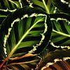 TROPICAL GREEN-GOLD LEAVES-1 von Pia Schneider Miniaturansicht