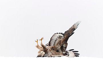 Fighting Buzzards sur AGAMI Photo Agency