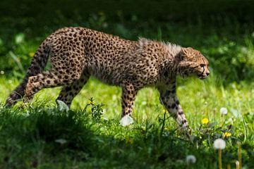 Jachtluipaard of Cheeta : Koninklijke Burgers' Zoo van Loek Lobel