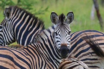 Zebra in Zuid-Afrika van Dustin Musch