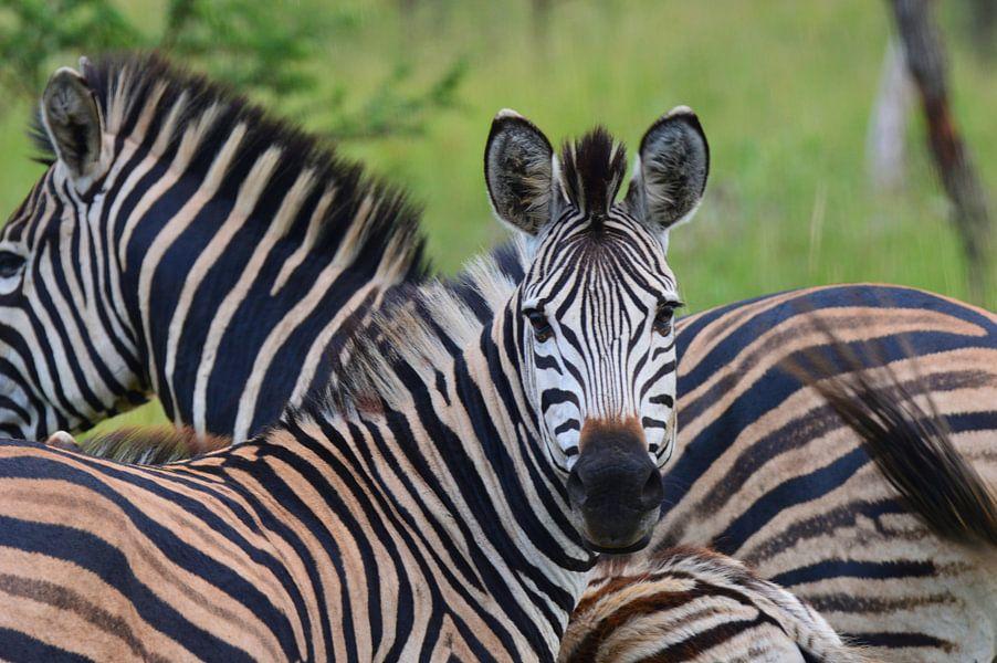 Behang Kinderkamer Zebra : Zebra in zuid afrika van dustin musch op canvas behang en meer