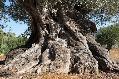 Oude Spaanse olijfboom