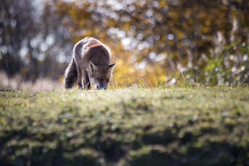 Vos in de natuur van Jeffrey Van Zandbeek