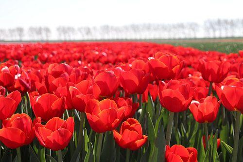 Veld vol rode tulpen in de zon   van