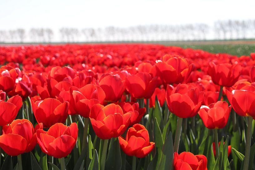 Veld vol rode tulpen in de zon   van André Muller