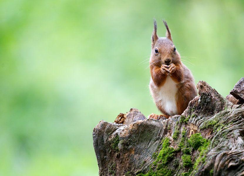 Eekhoorn van Thijs Schouten