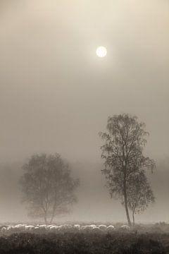 mouton dans le brouillard sur t.a.m. postma