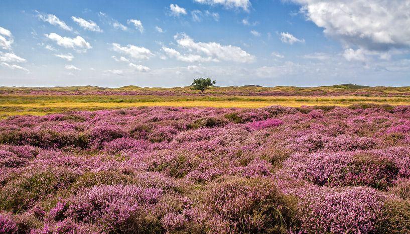 Heide in bloei in de duinen op Texel / Heather in bloom on Texel. van Justin Sinner Pictures ( Fotograaf op Texel)