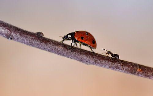 Mier achtervolgt lieveheersbeestje