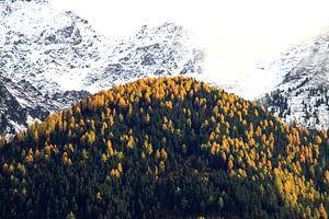 Herfst in de Alpen: gele alpendennen en sneeuw op de toppen van