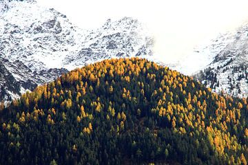 Herfst in de Alpen: gele alpendennen en sneeuw op de toppen von Jonathan Vandevoorde