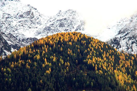 Herfst in de Alpen: gele alpendennen en sneeuw op de toppen