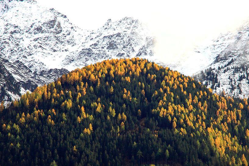 Herfst in de Alpen: gele alpendennen en sneeuw op de toppen van Jonathan Vandevoorde
