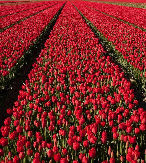 Rode Tulpen 003 van Alex Hiemstra