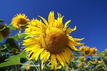 blühende Sonnenblume von Karina Baumgart