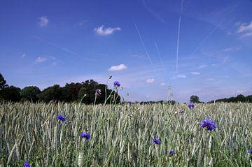 Kornfeld im Sommer mit Kornblumen von Anja Uhlemeyer-Wrona