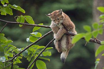 Eurasian Lynx / Eurasischer Luchs ( Lynx lynx ), cute young cub, little kitten in distress / playing van