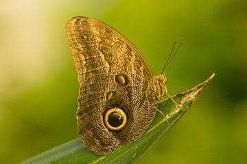 Papillon dans Artis sur Harm-Jan Tamminga