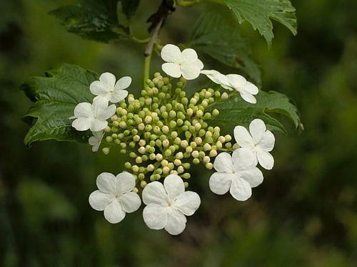 witte bloemen van een gelderse roos