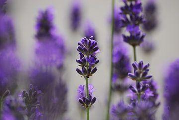 Lavendel von Peter Bosch