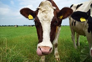 Hollandse koe kijk niewsgierig in de camera van Robin Verhoef