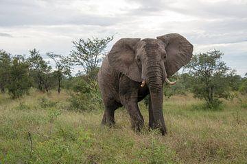 een alerte olifant in het wild van
