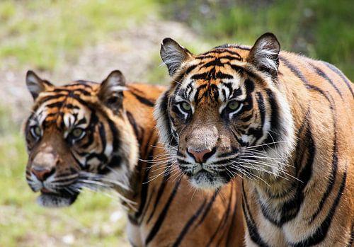 Twee tijgers met scherpte / onscherpte