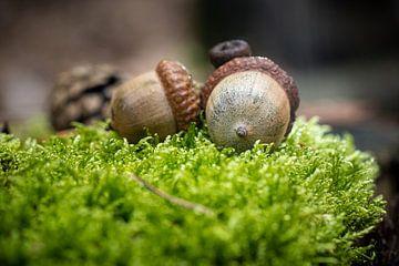 Detail der Eichenfrüchte im Moos von Fotografiecor .nl