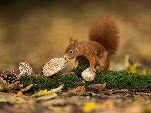 Eekhoorn op de paddenstoelen