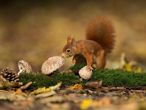 Eekhoorn op de paddenstoelen van