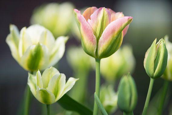 Tulpenmanie van Arthur de Groot