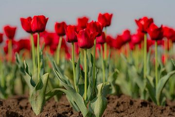 Tulpen uit Zeeland van Martine Moens