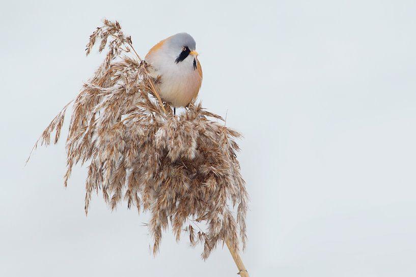 Baardman in het riet in de winter van Jeroen Stel