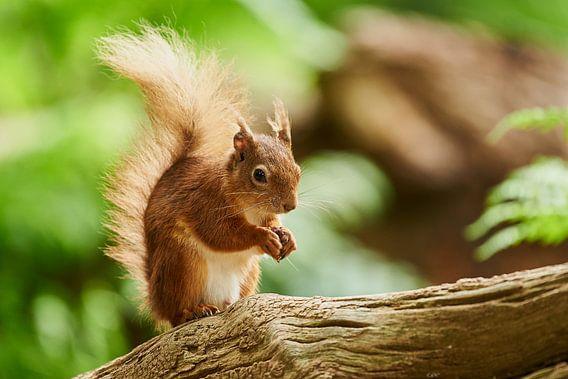 Écureuil roux sur Rene van Dam