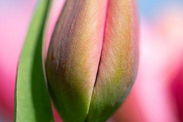 Rosa Tulpe von Astrid Volten