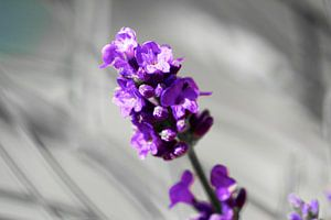 Lavender van