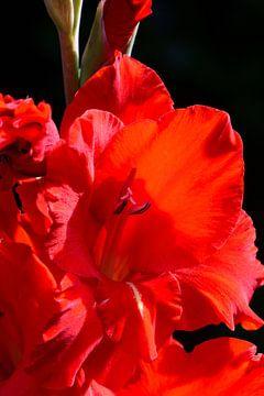 Een rode bloem van een gladiool van Gerard de Zwaan