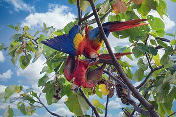 Twee ara's in het regenwoud van Costa Rica van Tilo Grellmann | Photography